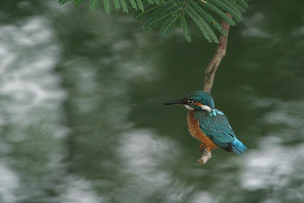 kingfisher 1474.jpg