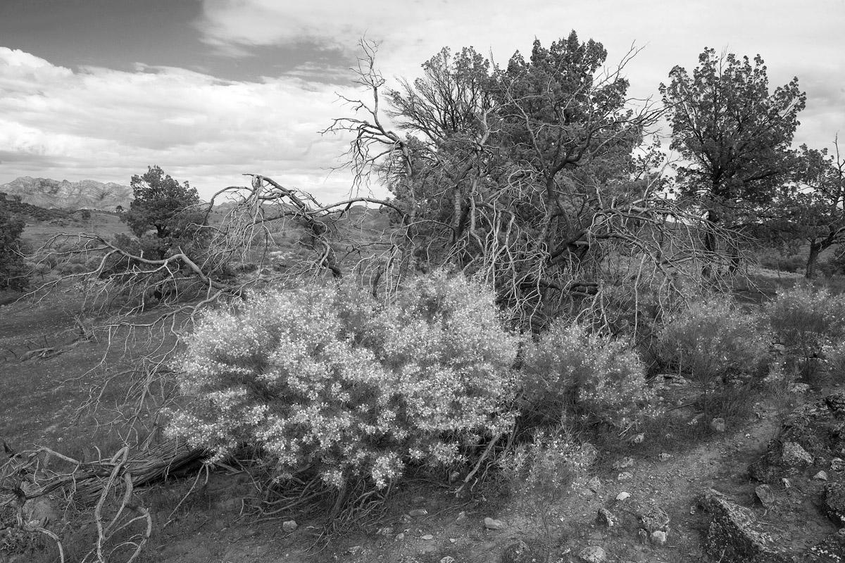 wattle bush bw 2176.jpg