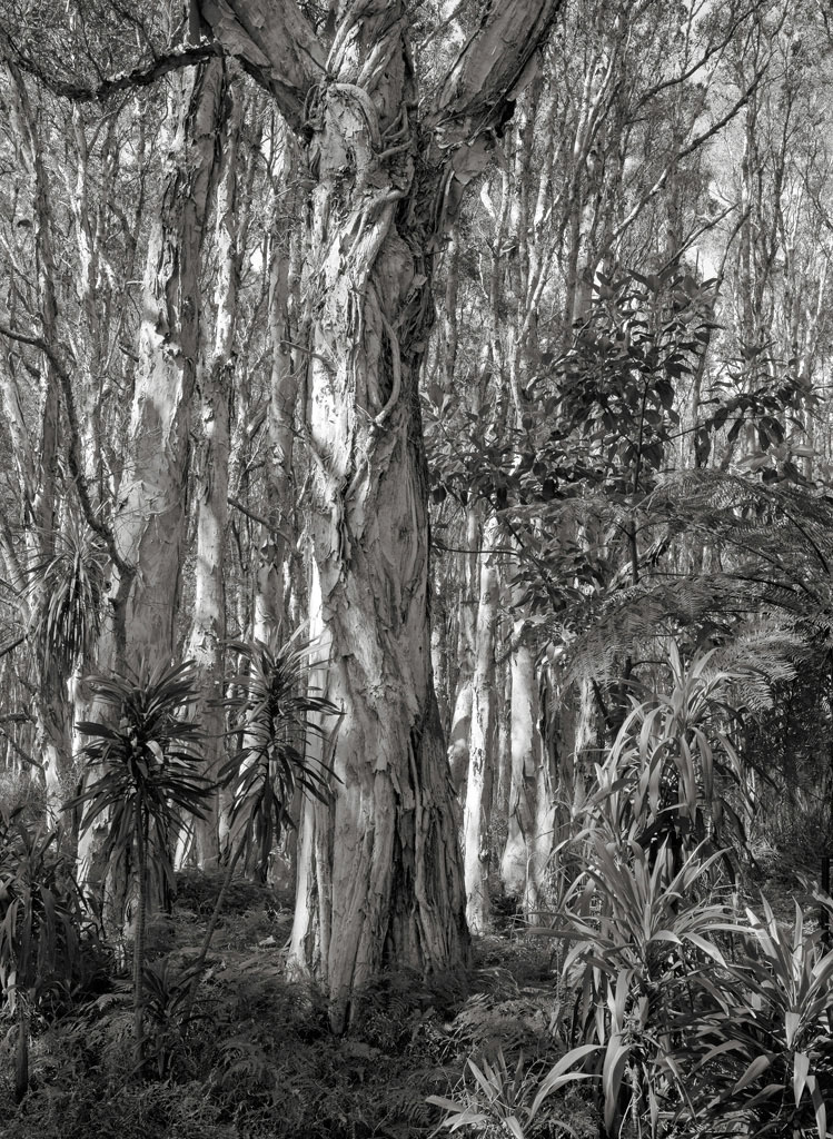 Paperbark forest, Centennial Park, Sydney