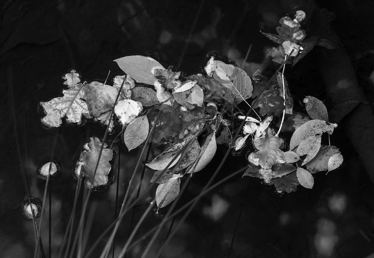 leaves and reeds 2 bw 90103.jpg