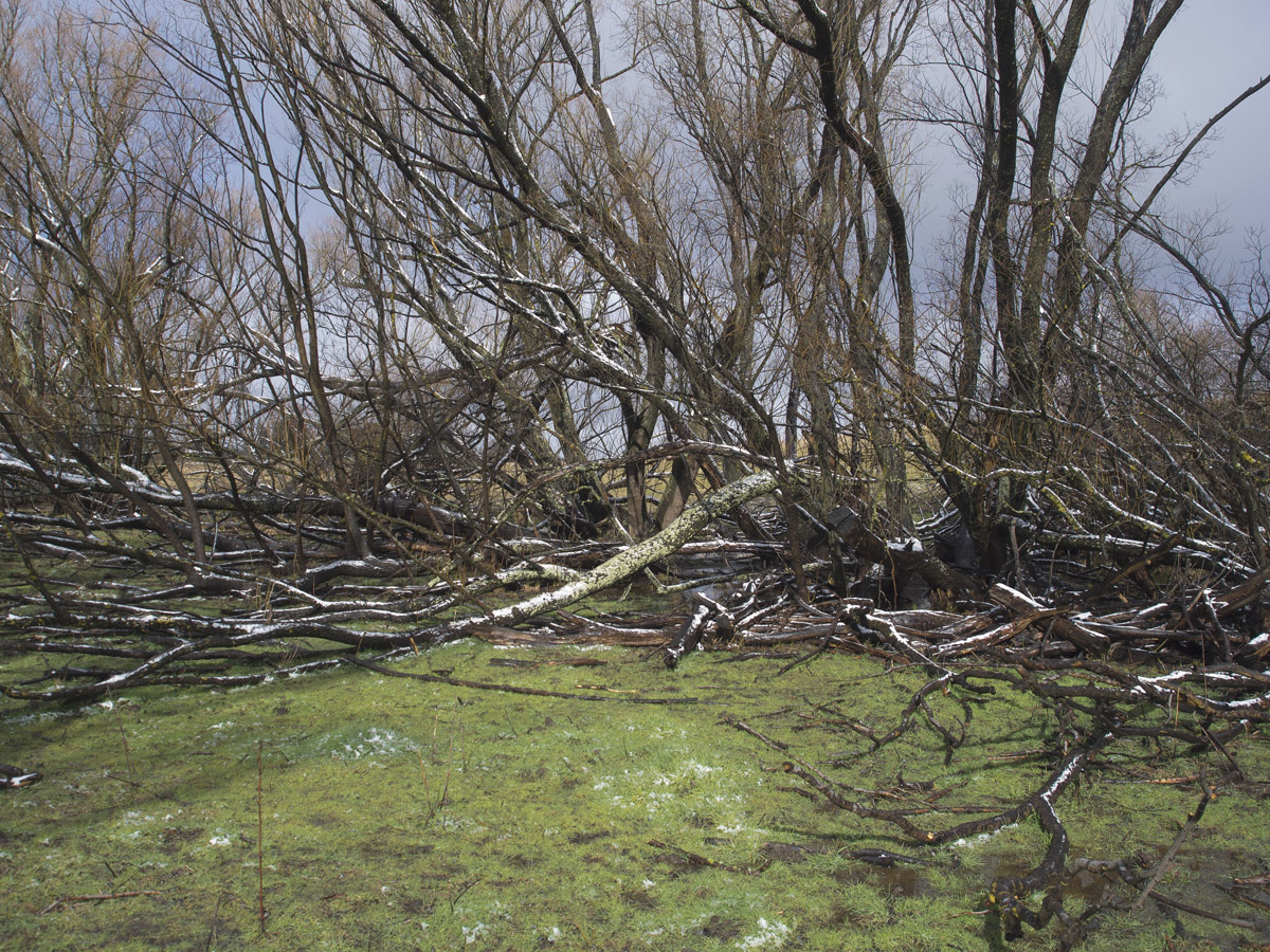 fallen trees 0499.jpg