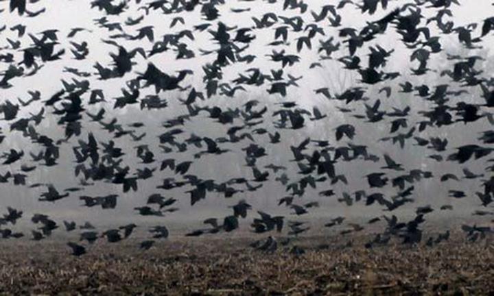 Crows as pyschopomps