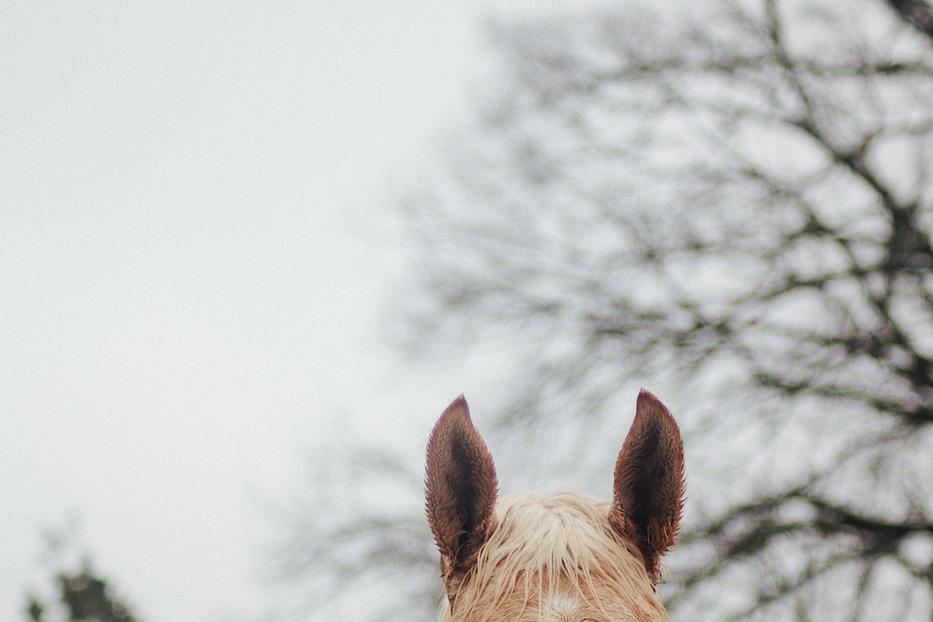 blackwood horse ears