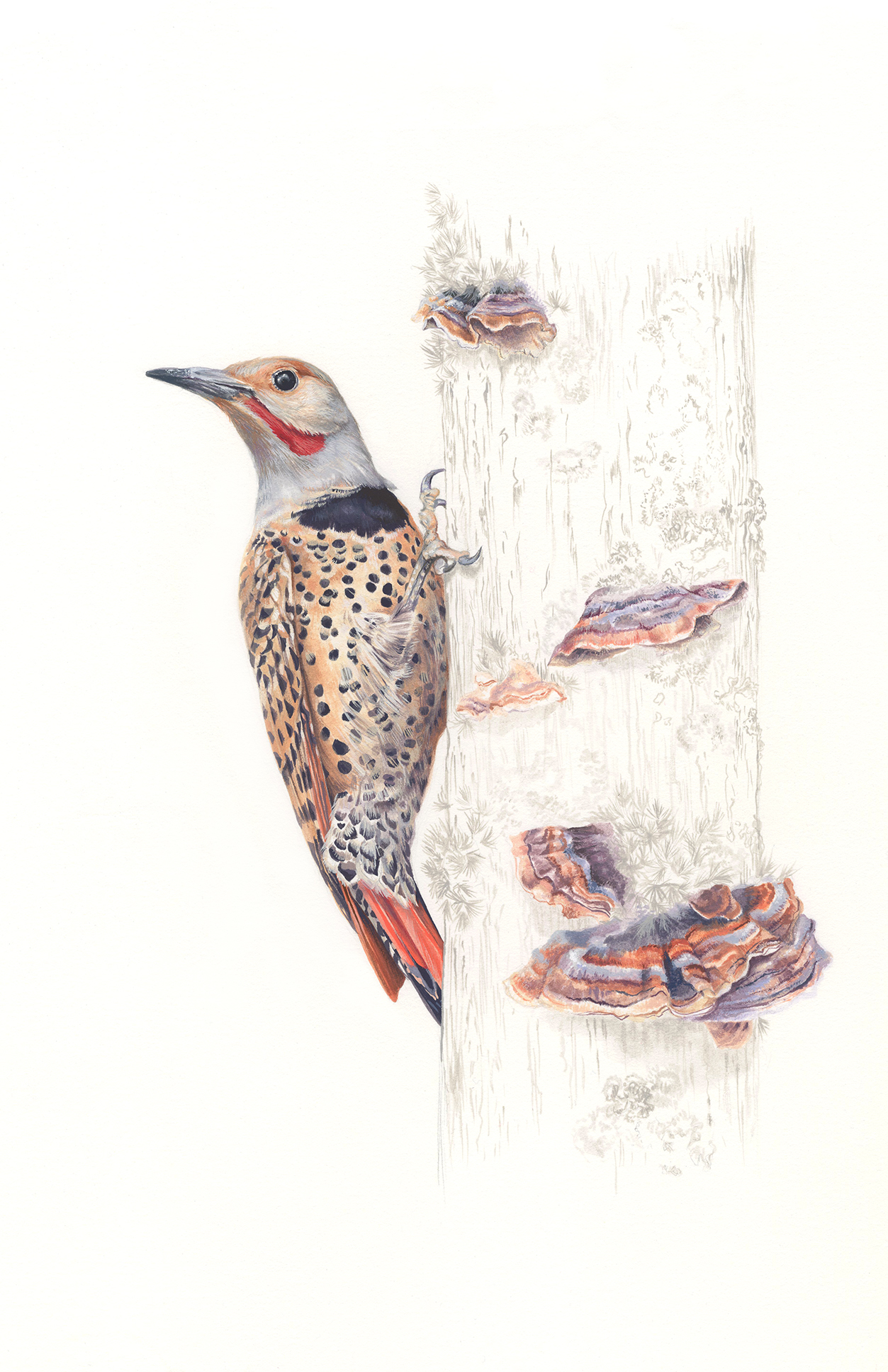 Northern Flicker & Trametes versicolor