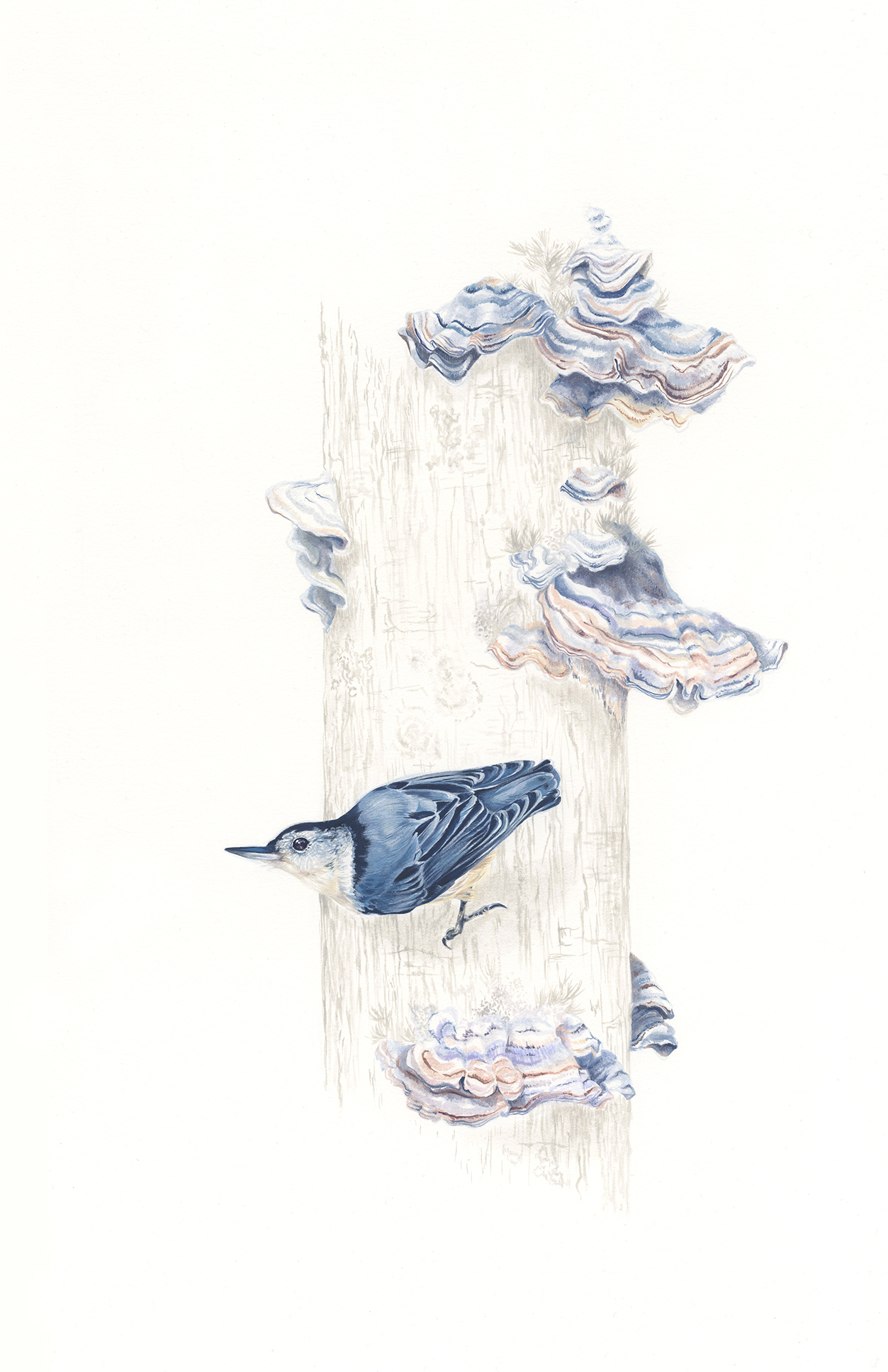 White-breasted Nuthatch & Trametes versicolor