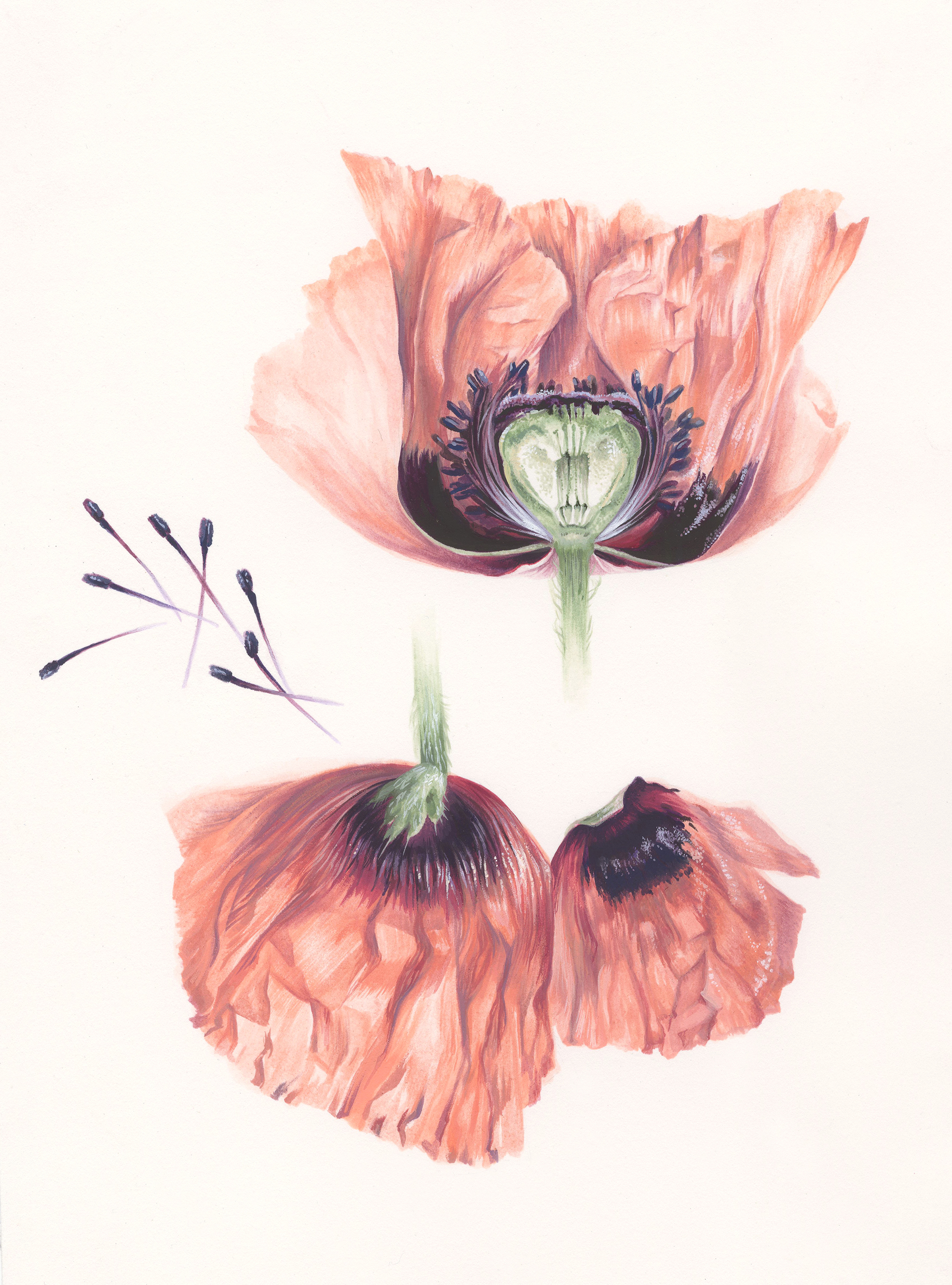 Cross Section of Papaver orientale