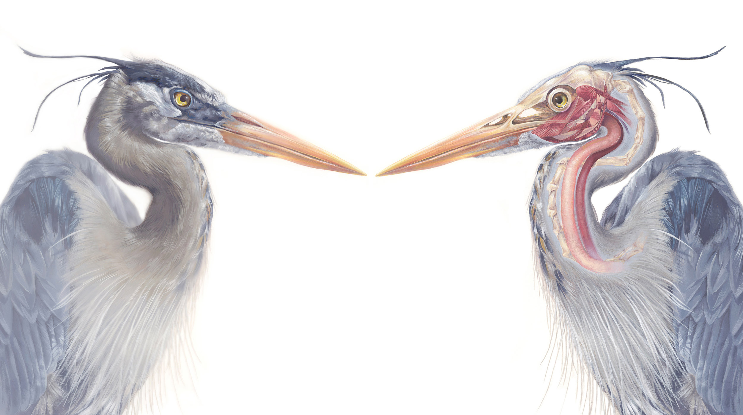 Anatomy of Great Blue Heron