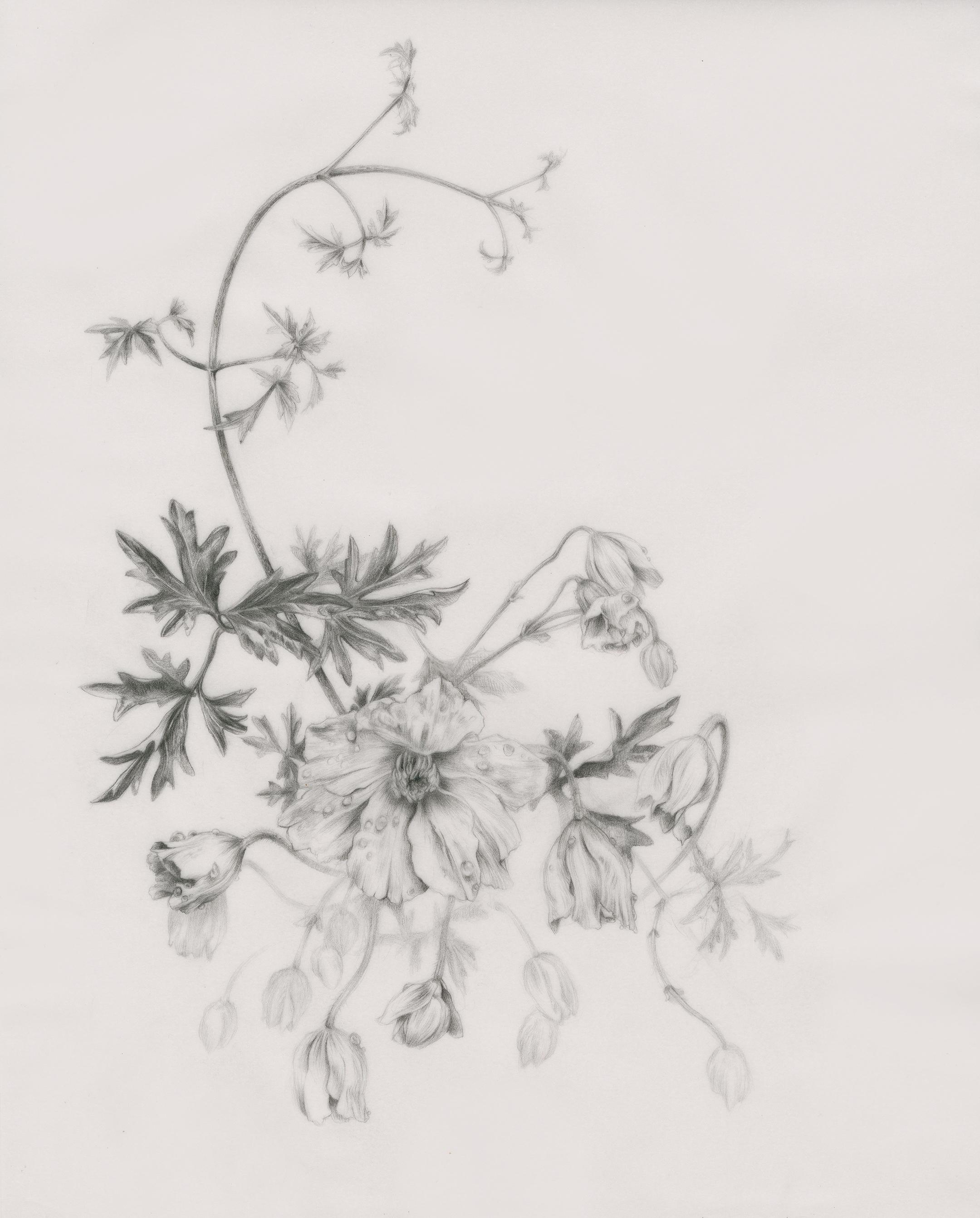 """Clematis cartmanii """"Avalanche'"""