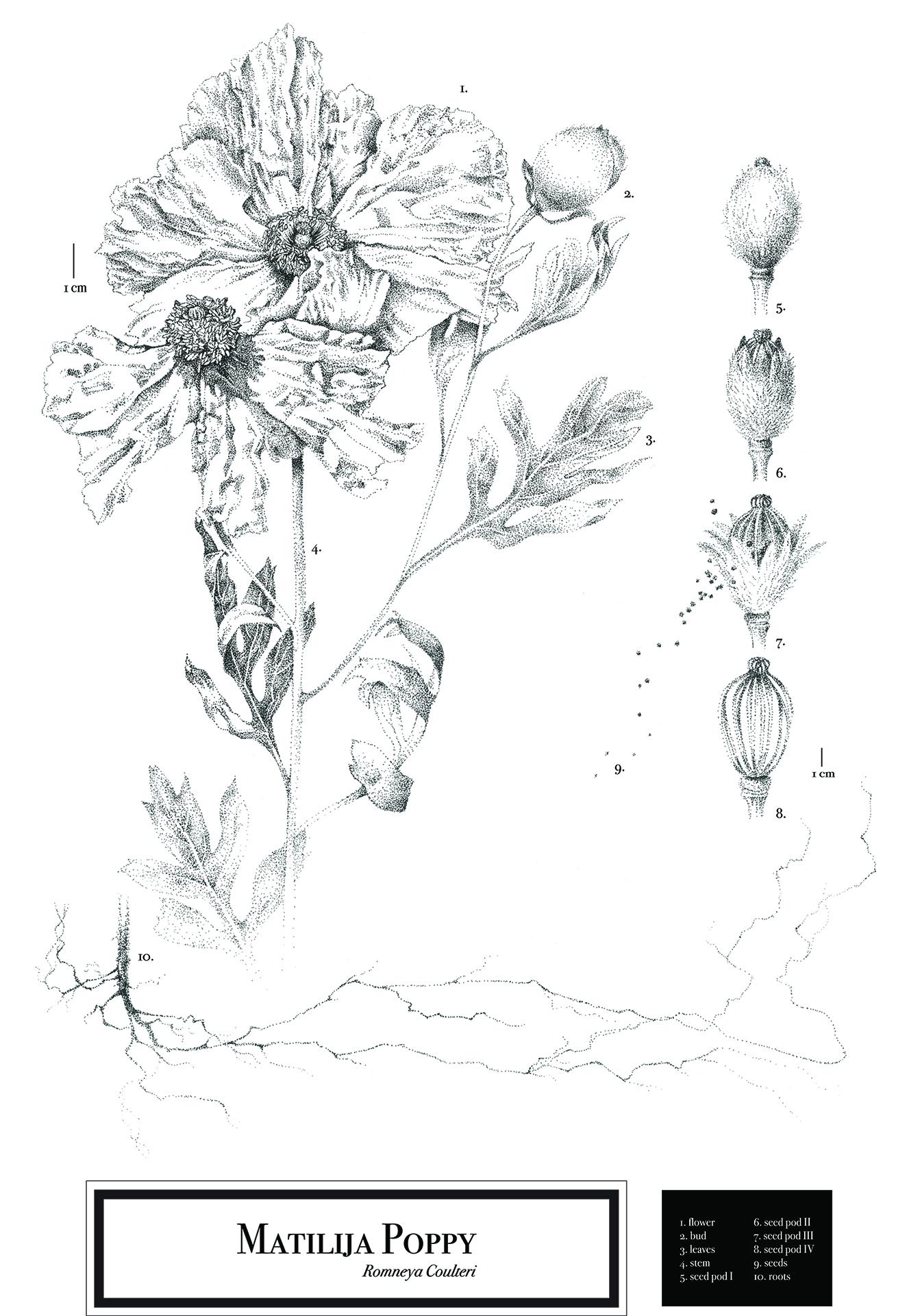 Romneya coulteri Botanical Plate