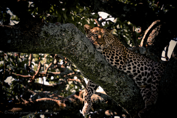 leopard_serengeti.jpg