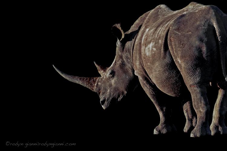 White rhinoceros or square-lipped rhinoceros (Ceratotherium simum)