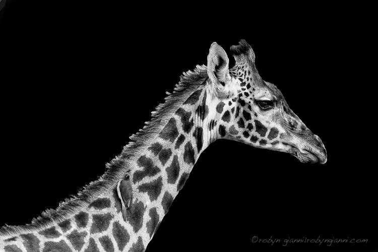 Maasai giraffe, Kenya