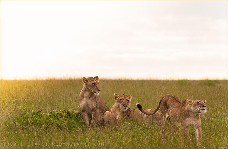 The Ridge Pride, Maasai Mara, Kenya