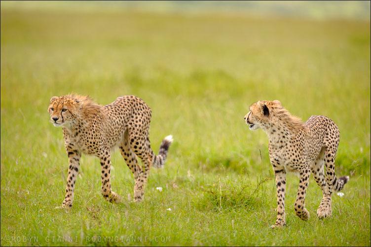 Two young cheetahs, Maasai Mara, Kenya