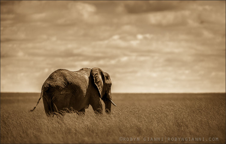 Savannah Elephants, Kenya