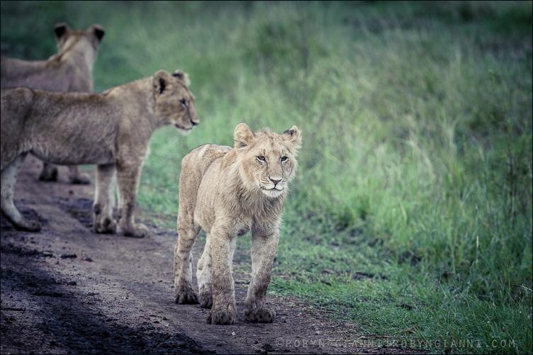 Oloololo Pride cubs, Masaai Mara, Kenya