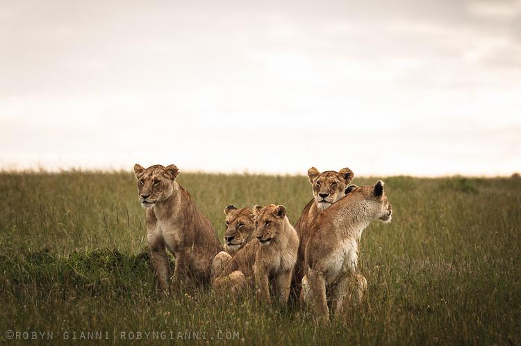 Ridge Pride Lionesses, Maasai Mara, Kenya