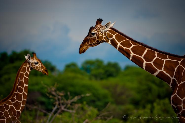 Reticulated giraffe, Samburu, East Africa