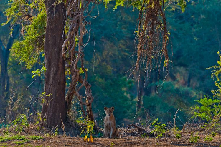 Lioness, Lower Zambezi, Zambia
