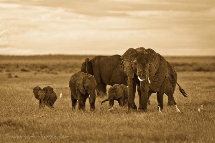Elephant family, Amboseli National Park