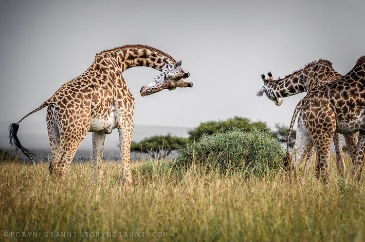 Maasai Giraffe, East Africa
