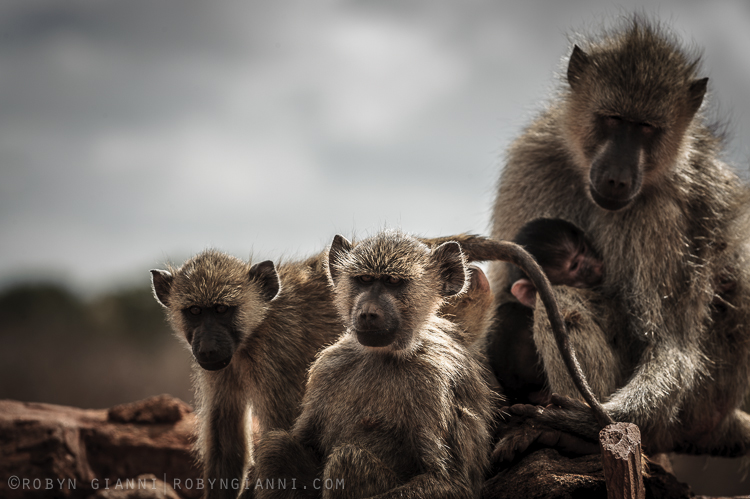 Yellow baboon family, Tsavo.