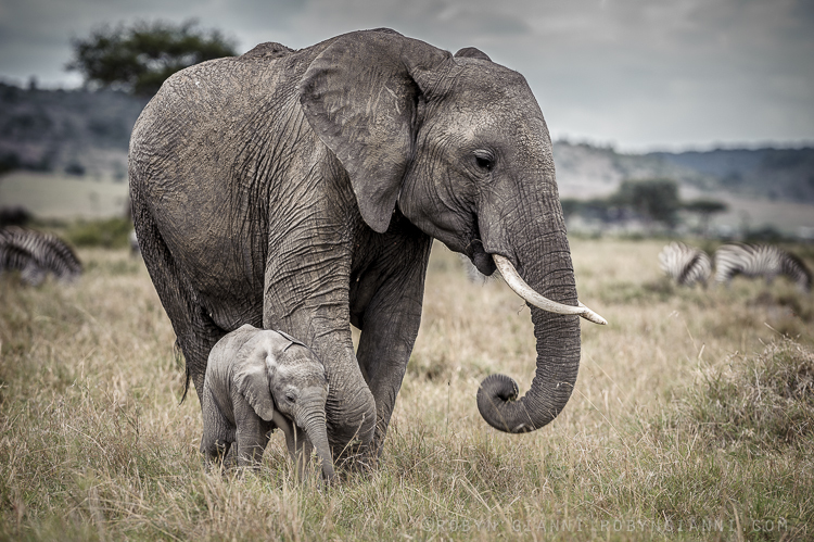 Mother And Calf, East Africa