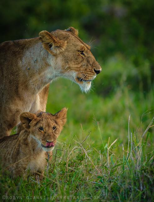 Mpole, Hatari, and cubs. Maasai Mara, Kenya