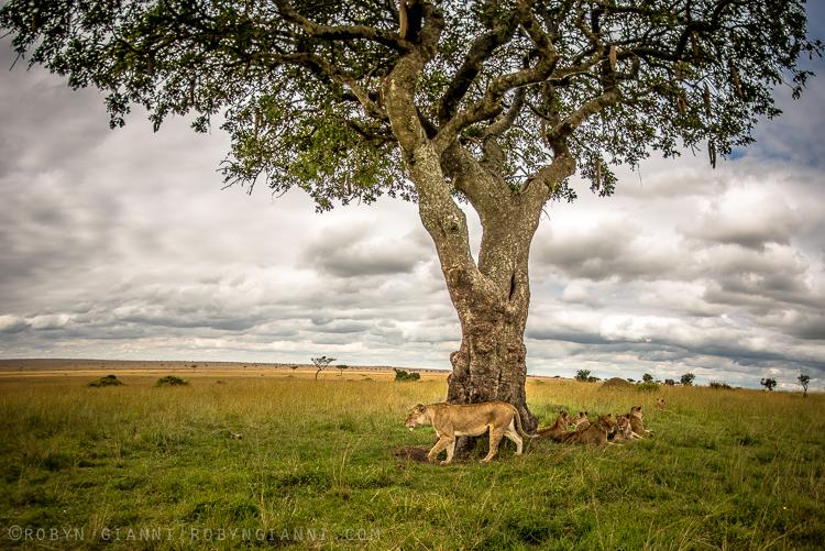 lionpride.jpg