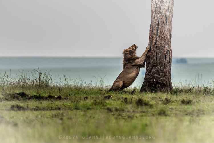lionstretch.jpg