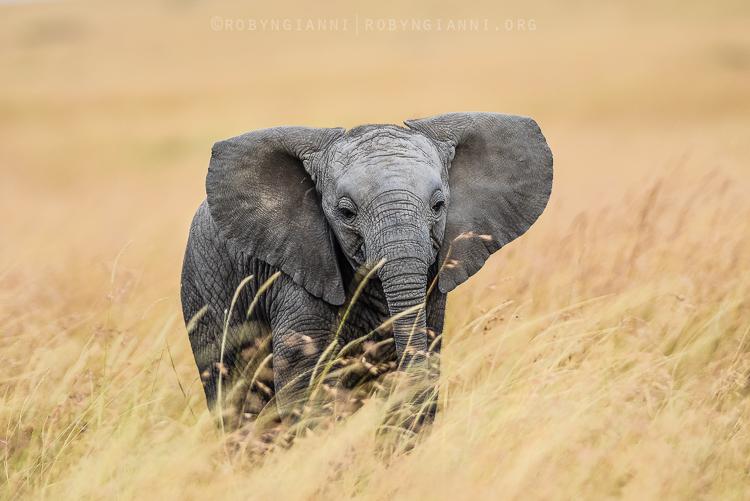 elephantcalf.jpg
