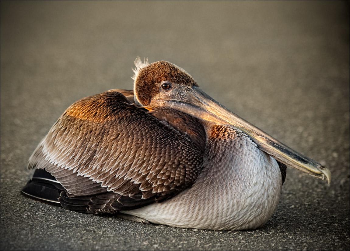 A Pelican's Rest