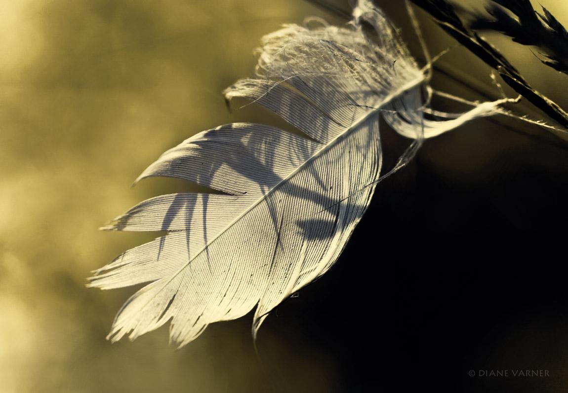 Anna's Feather