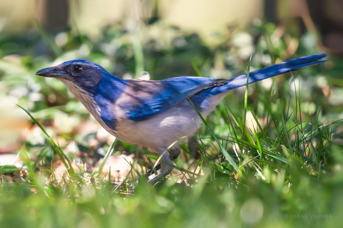Mr. Blue No. 2
