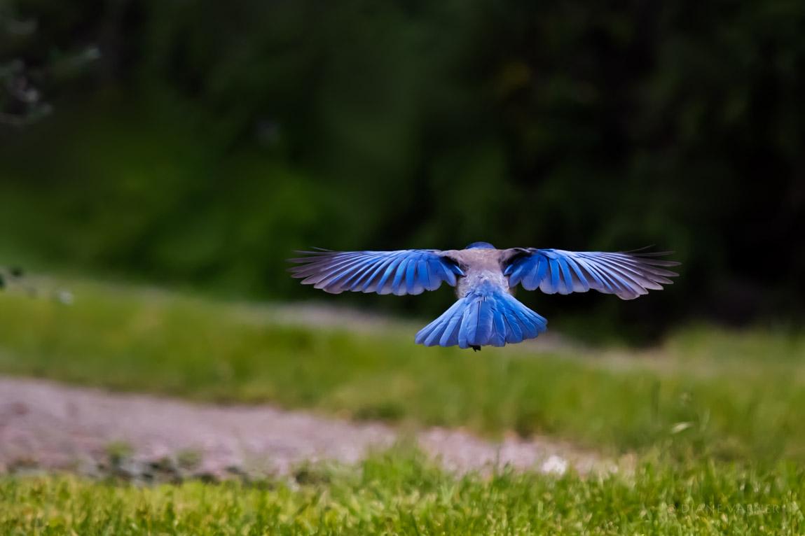 Western Scrub Jay in Flight - They Are Beautiful!