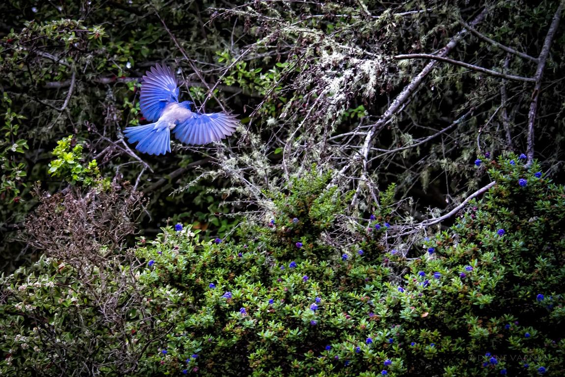 Western Scrub Jay - Natural Habitat in California
