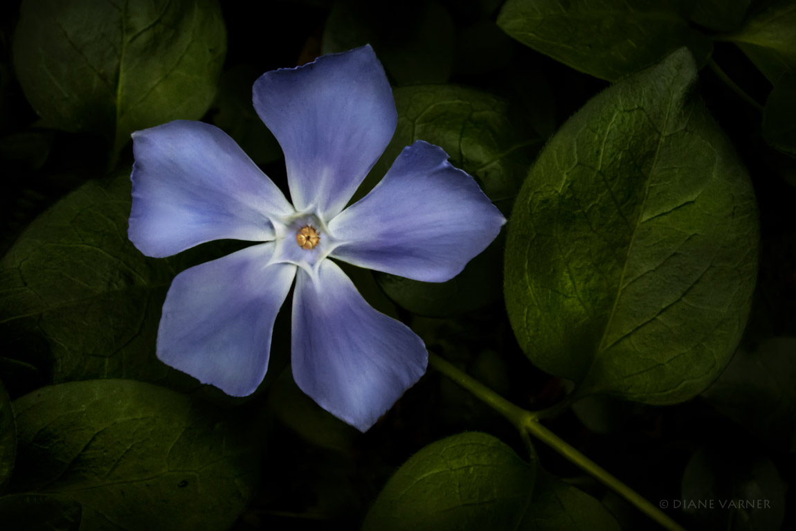 Blue Periwinkle