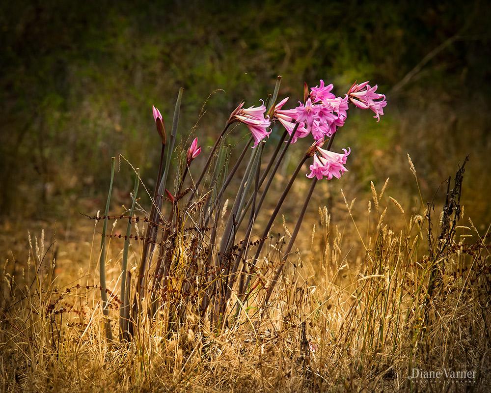 Wild Amaryllis in Nearby Field