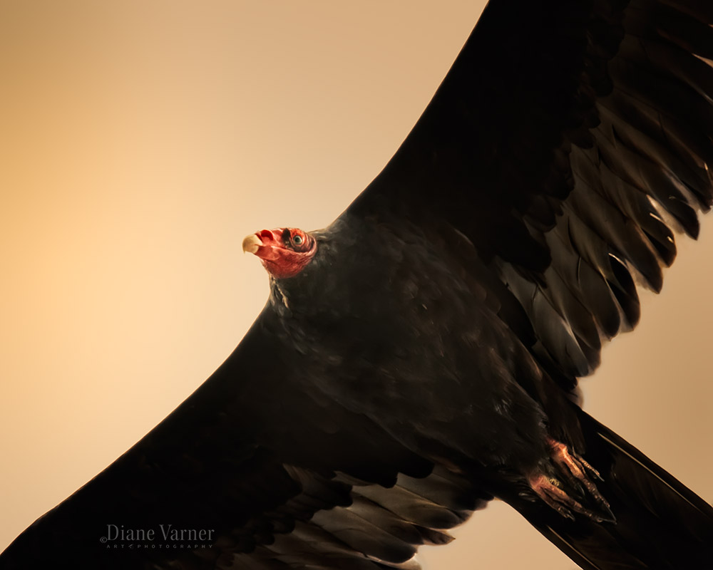 Turkey Vulture Flying Overhead - No 2