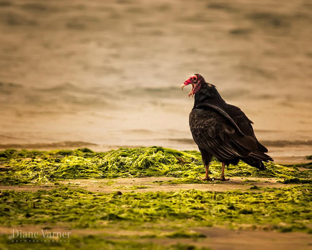 Turkey Vulture Hissing - No 6