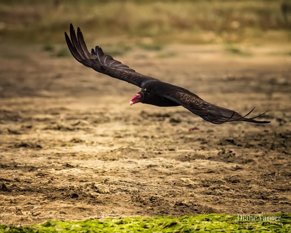 Turkey Vulture - No 5