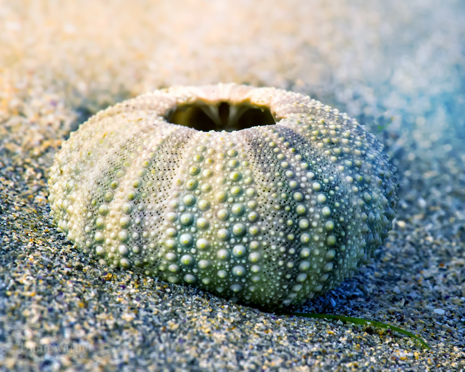 Half Moon Bay Sea Urchin Shell