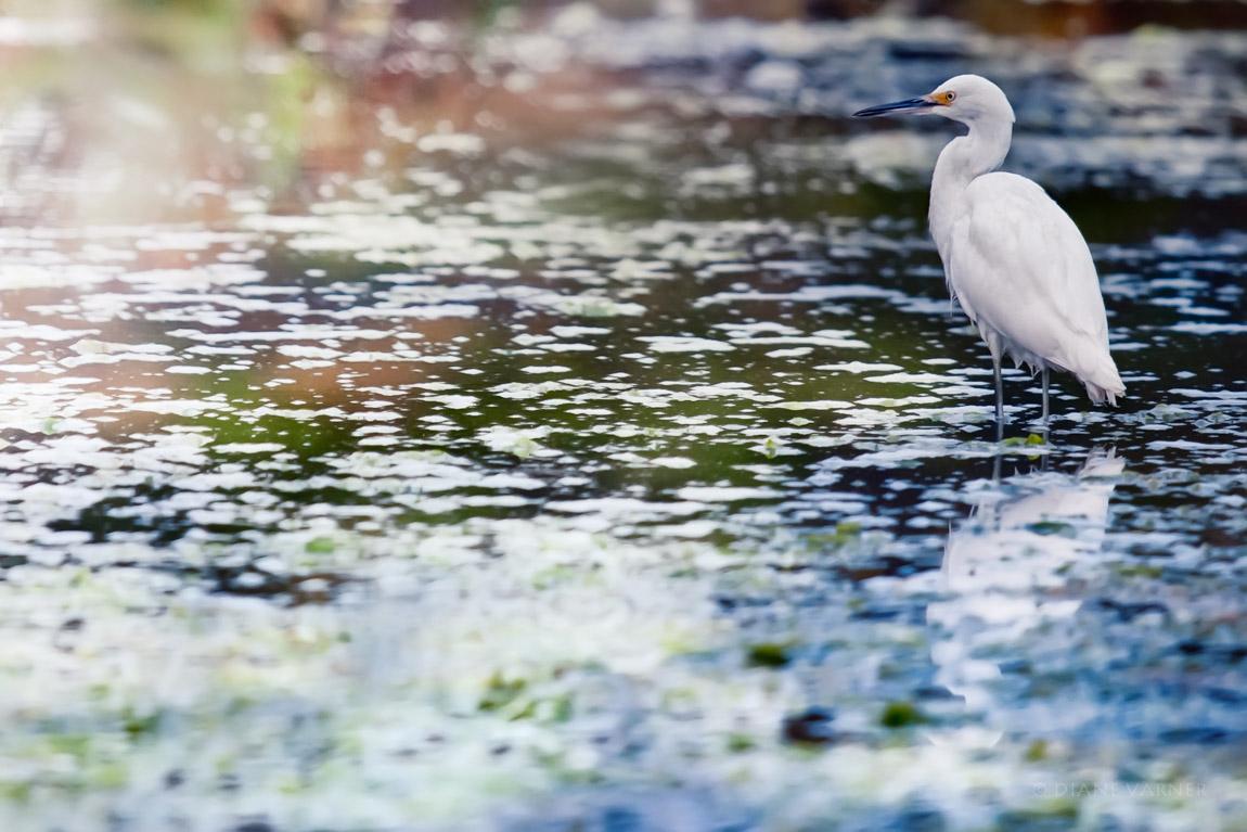 Half Moon Bay Sea Bird - Egret
