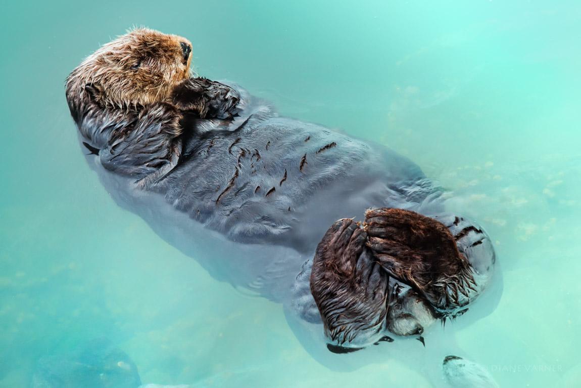 Half Moon Bay Otter