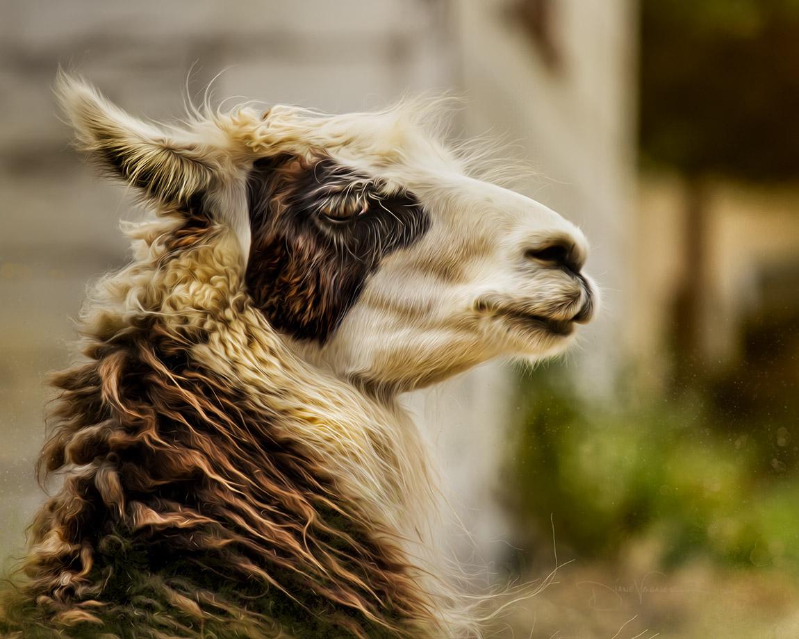 shy-llama