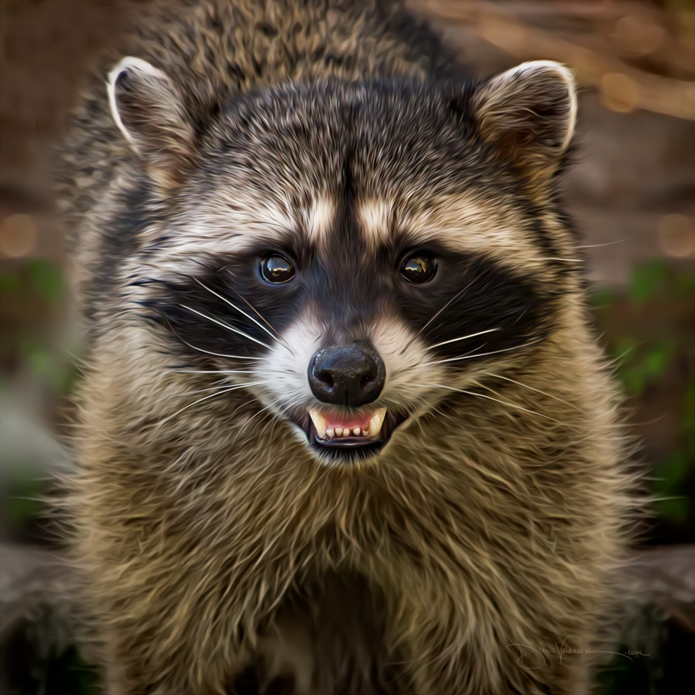 Mama Raccoon
