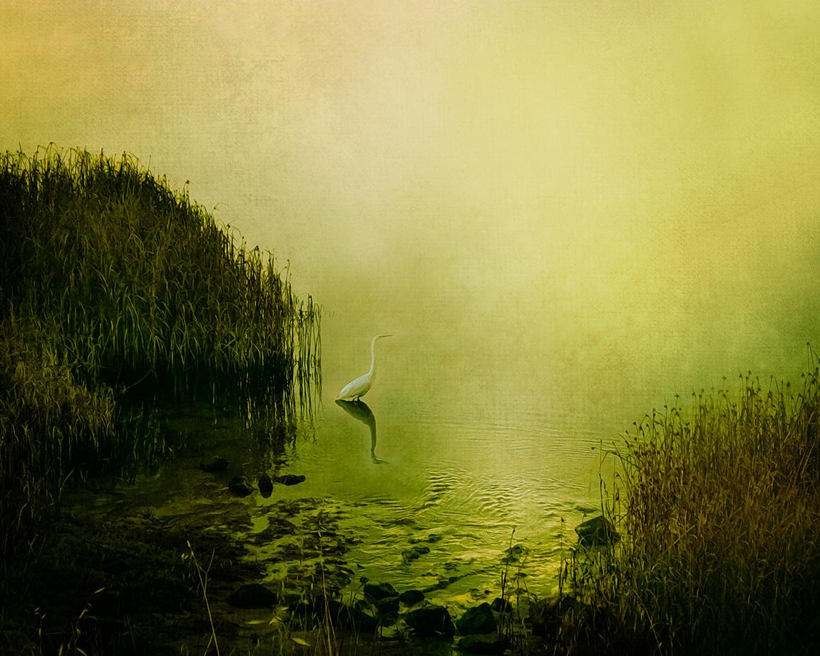 Incoming Breeze Great Egret