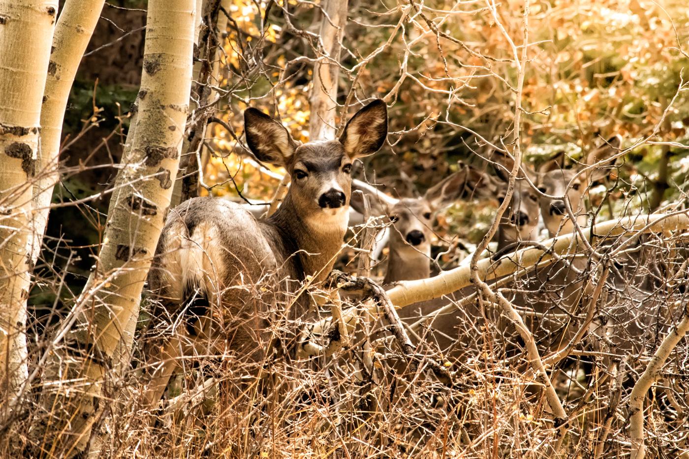 Lundy Lake Deer - Eastern Sierra