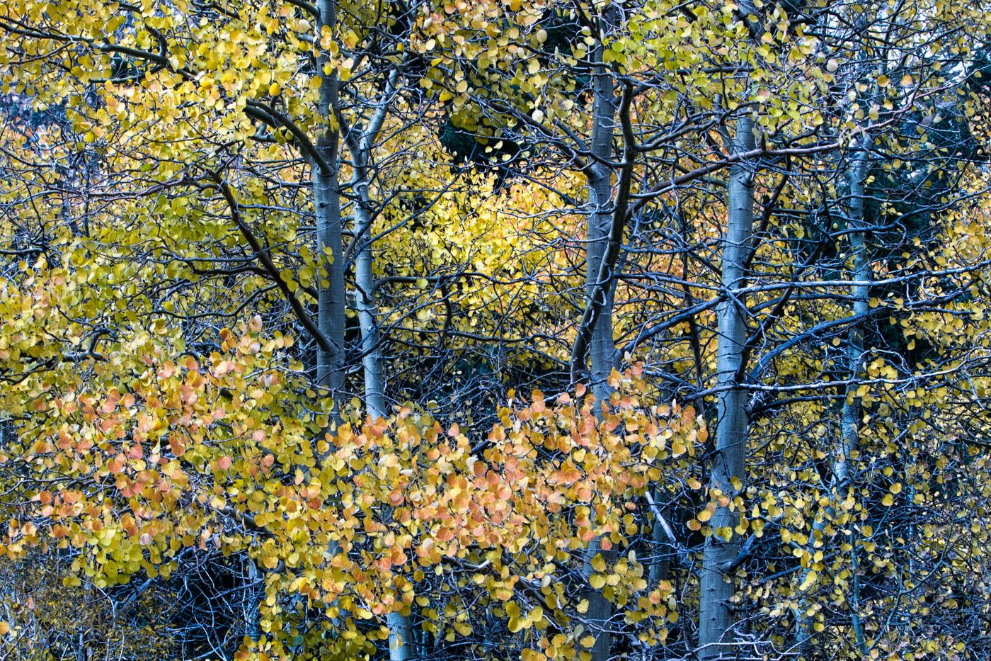 Splendid Autumn Color in Eastern Sierra, California