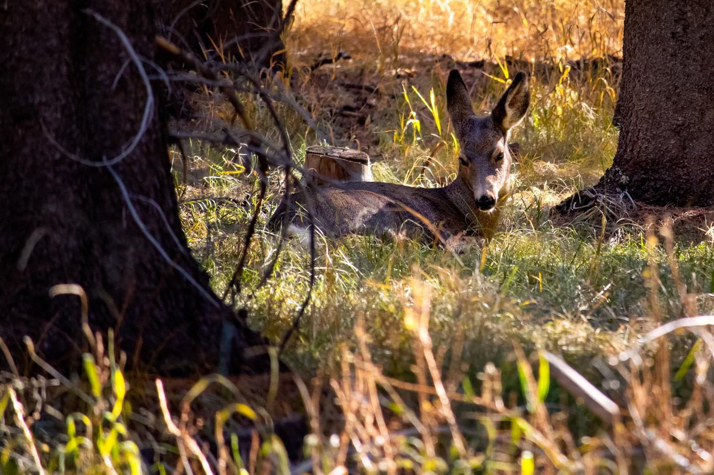 Eastern Sierra Deer Resting in Autumn Warmth